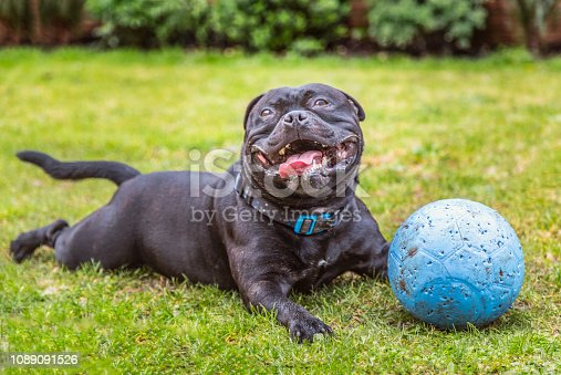 Black Staffordshire Bull Terrier dog lying on grass outside, panting and smiling after playing with his rubber ball that now has puncher marks. He looks very happy. he has some mud on his face.