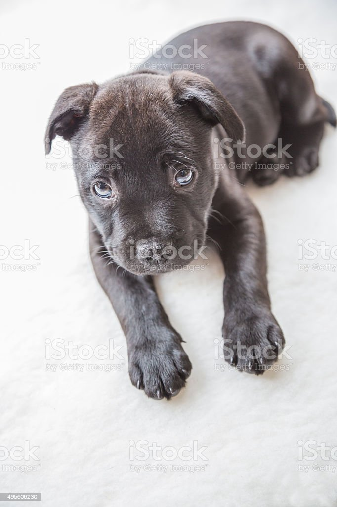 Black Staffordshire Bull Terrier Puppy Stock Photo Download Image