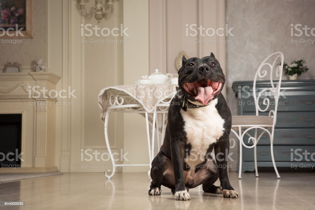 black staffordshire terrier or pit bull seatting at the vintage interior stock photo