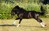 Black shire stallion galloping on a summer meadow