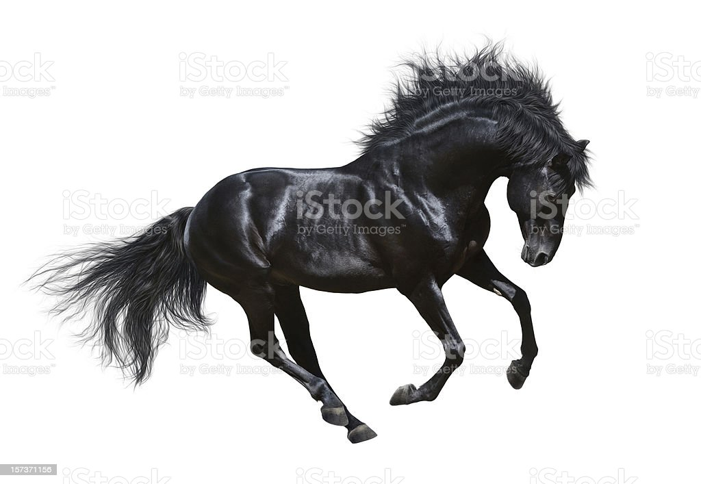 Black stallion in motion - isolated on white stock photo