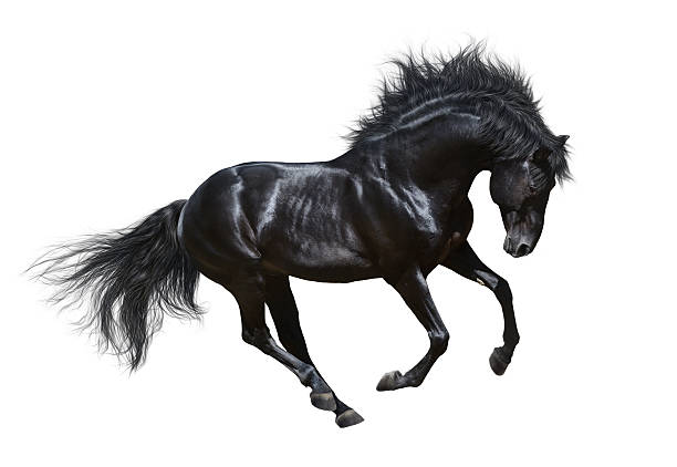 Black stallion in motion - isolated on white Black stallion in motion - on white background stallion stock pictures, royalty-free photos & images