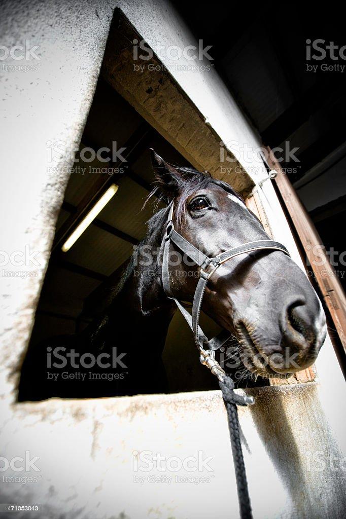 black stallion royalty-free stock photo
