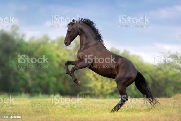 Black stallion rearing up picture id1034305800?b=1&k=6&m=1034305800&s=612x612&h=qieucfggepkuviweaqdv7p3tgc1uasvcxgsfk7zgr5s=