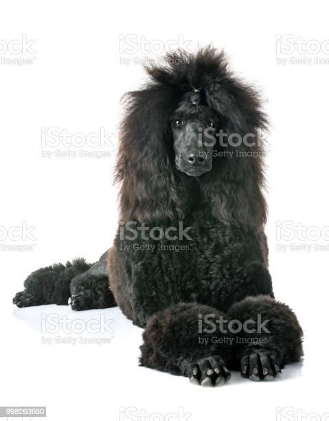 Black standard poodle picture id998263680?b=1&k=6&m=998263680&s=612x612&h=0qrnnt5nhtz9ibds0z 0rtw5 4sf5mvber uytvgaks=