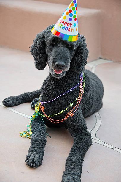 Noir caniche Standard avec chapeau d'anniversaire - Photo