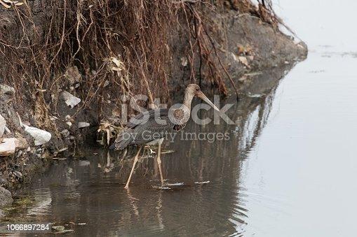 istock Black storck (Ciconia nigra) in a stony river bed. 1066897284