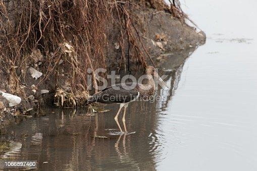 istock Black storck (Ciconia nigra) in a stony river bed. 1066897460