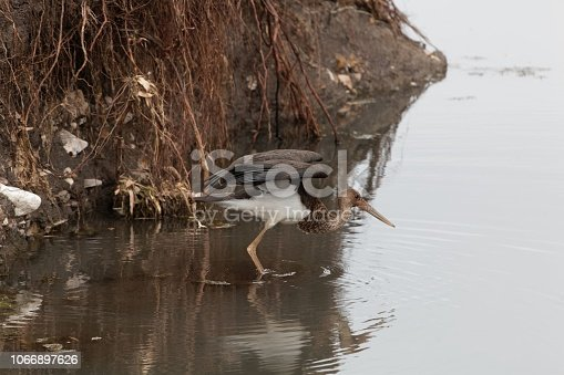 istock Black storck (Ciconia nigra) in a stony river bed. 1066897626