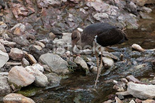 istock Black storck (Ciconia nigra) in a stony river bed. 1066898306