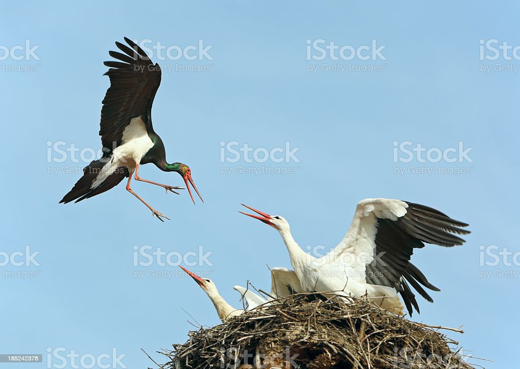 Black Stork Attack royalty-free stock photo