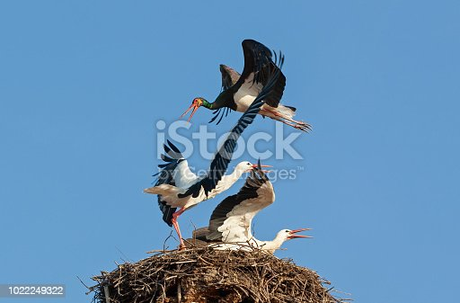 A black stork attacks two white storks on their nest. An extraordinary drama against a blue sky.