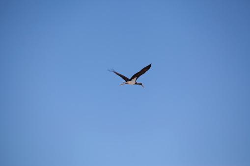 Black stork flying in the air