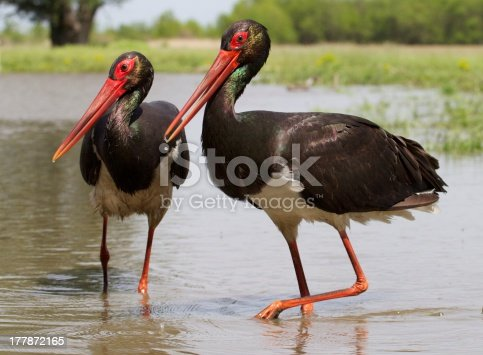 Black storks wading through a pond, Hungary