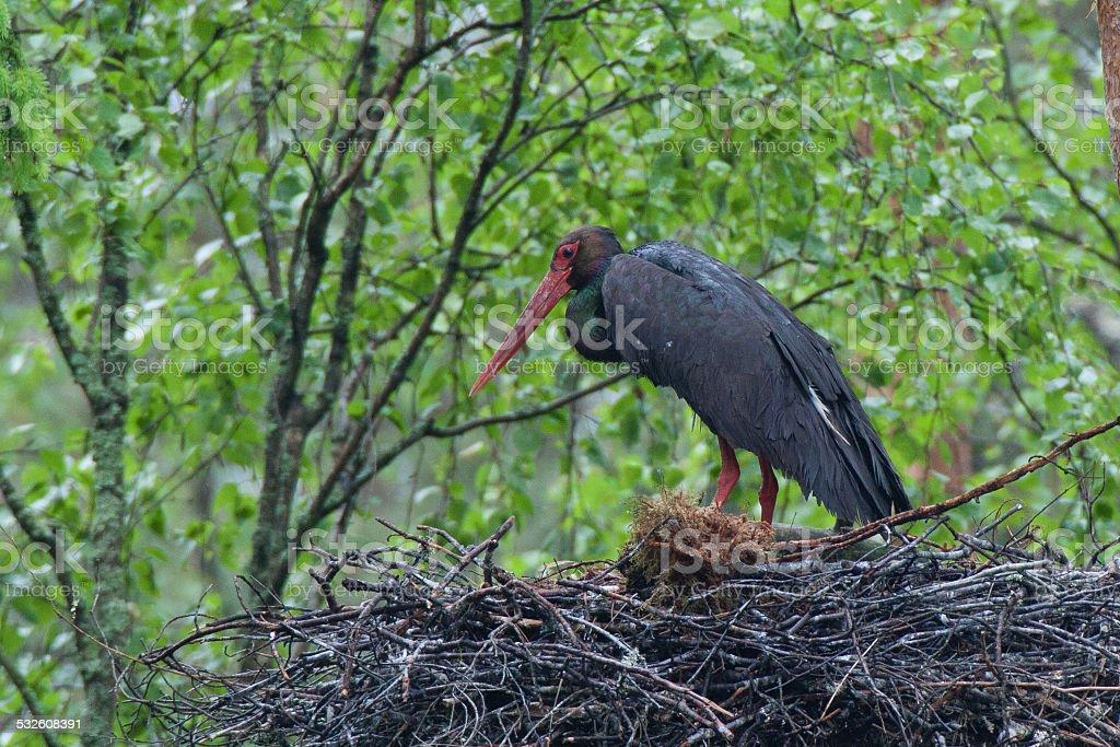 Black stork stock photo