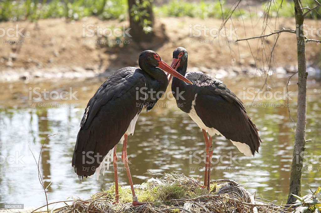 Black stork royalty-free stock photo