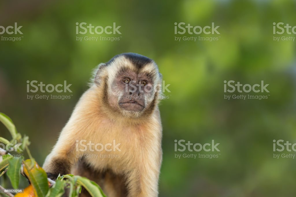 Black striped Capuchin monkey close up stock photo