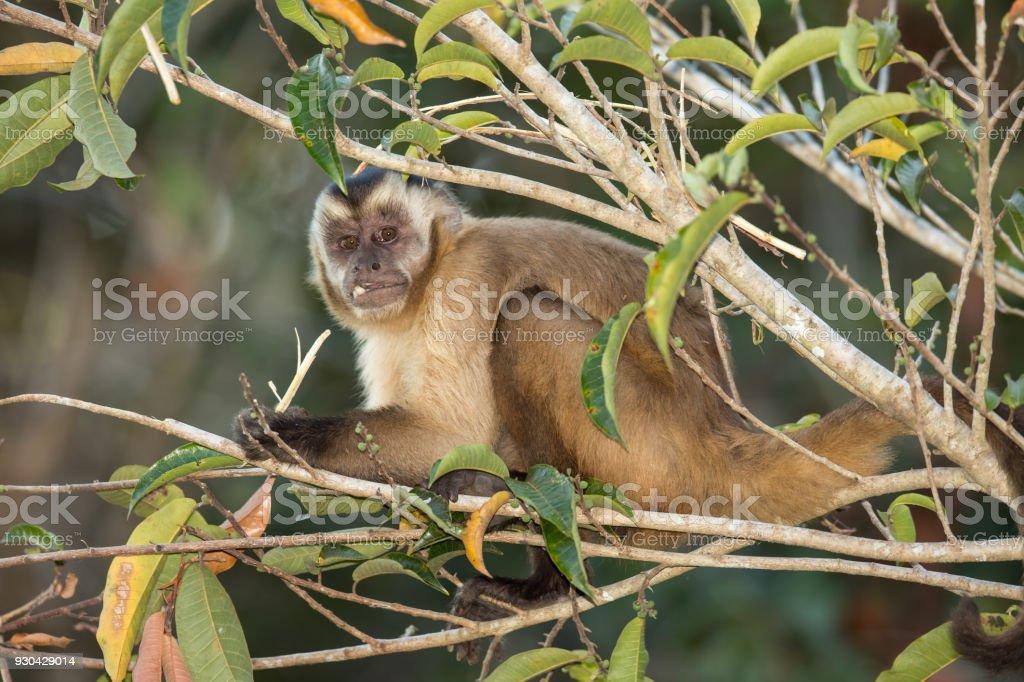 Black striped Capuchin monkey feeding stock photo