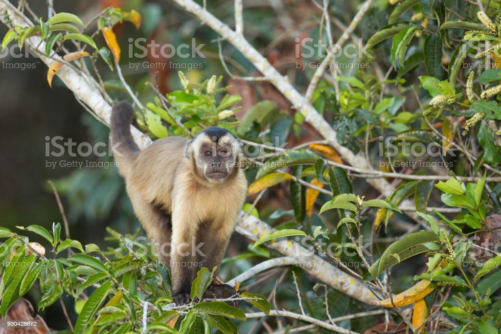 Black striped Capuchin monkey in a tree stock photo