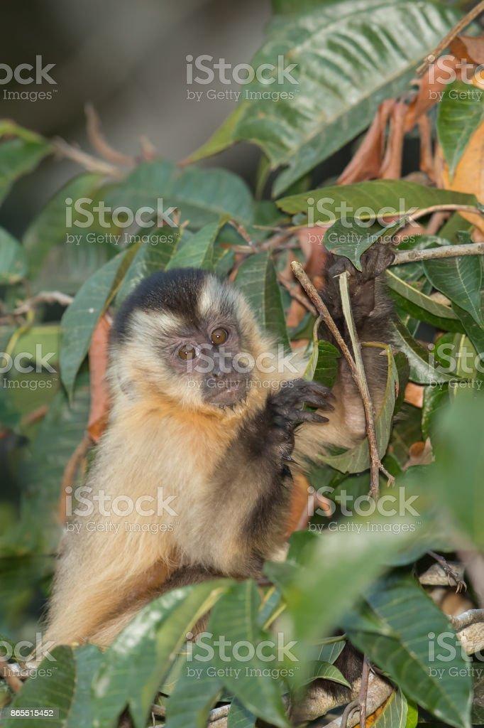 Black striped Capuchin monkey stock photo