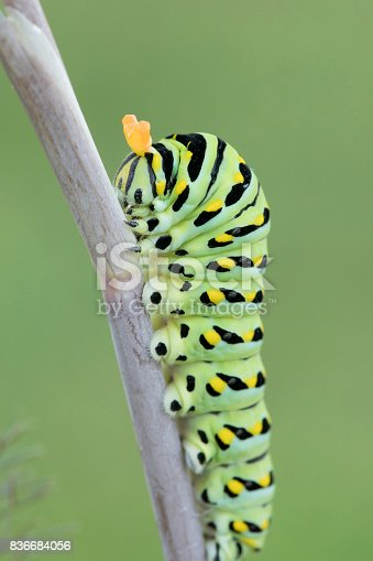 Black Swallowtail Butterfly Caterpillar (stage 3) with it's osmeteria (stinkhorns) extended for defense