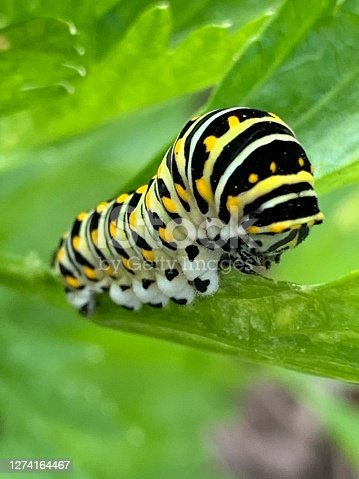 This is a close up of a Black Swallowtail Butterfly Caterpillar.