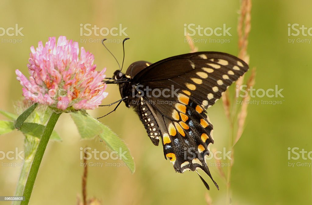 Black Swallowtail butterfly royalty-free stock photo