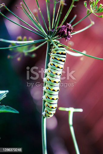 Black swallowtail Caterpillar crawling down a dill plant it has eaten with bokeh background