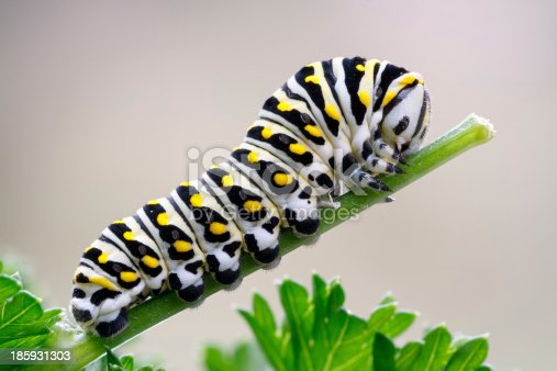Catterpillar of a black swallowtail butterfly munching on parsley. Larva of the (eastern) black swallowtail (Papilio polyxenes), also called the American swallowtail or parsnip swallowtail.