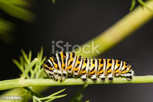 A close up of a Black Swallowtail Caterpillar on Dill in the garden.