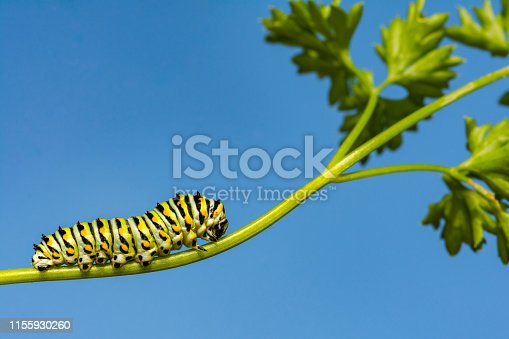 A close up of a Black Swallowtail Caterpillar in the garden in New England.
