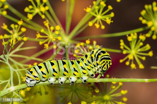 A close up of a Black Swallowtail Caterpillar eating the stem of a dill plant in the garden.