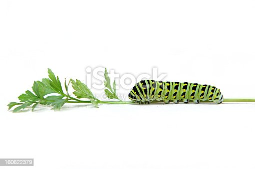 A black swallowtail caterpillar munching on a fresh sprig of parsley.