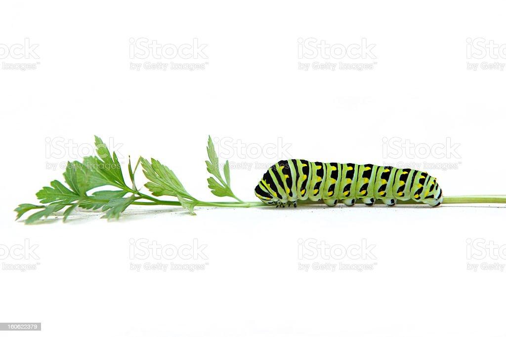Andorinha caterpillar preto - foto de acervo