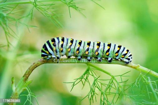 A macro shot of a Black Swallowtail Butterfly Caterpillar (Papilio polyxenes)