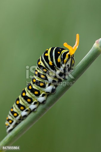 Black Swallowtail Caterpillar on Fennel Plant. When disturbed, the caterpillar displays its Osmeteria (Stink horns).