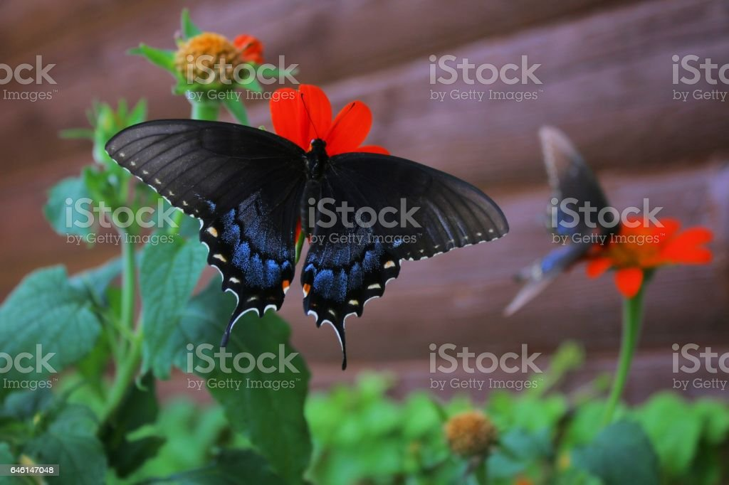 Black Swallowtail duo stock photo