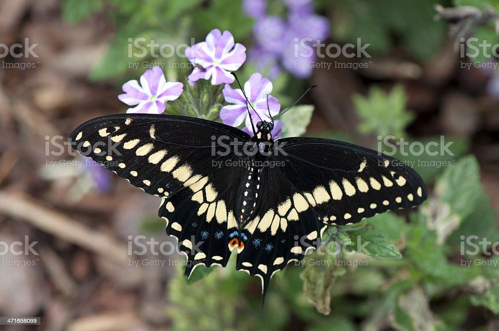 Black Swallowtail (Papilio polyxenes) stock photo