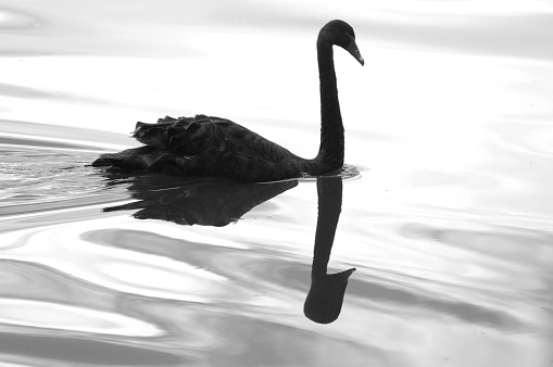 istock Black swan and its reflection swimming on the lake 95414892