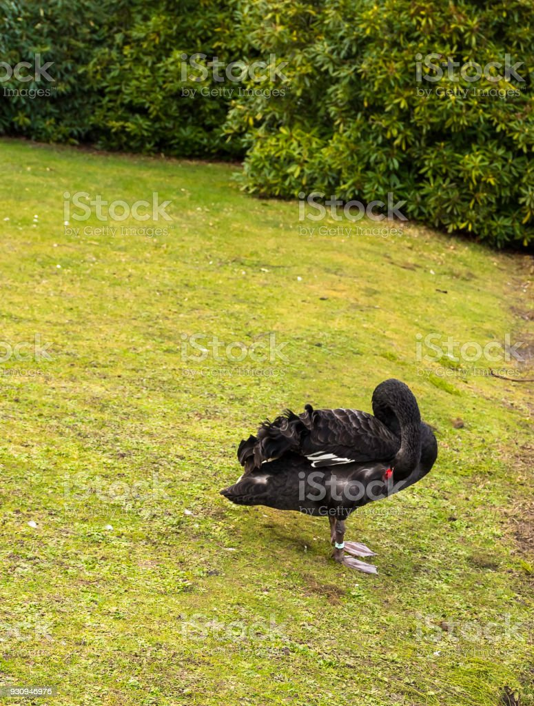 Black swan at claremont landscape garden surrey uk stock photo black swan at claremont landscape garden surrey uk royalty free stock photo workwithnaturefo