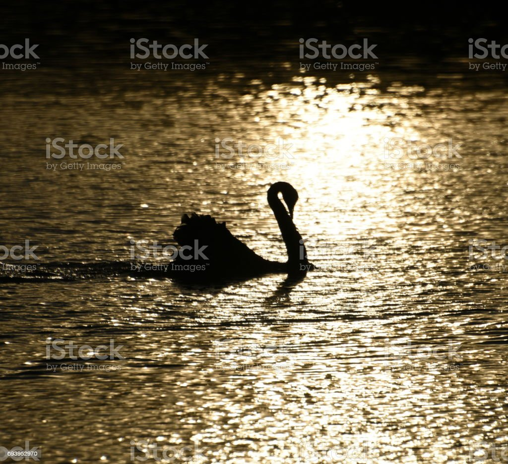 Black swan at sunset stock photo
