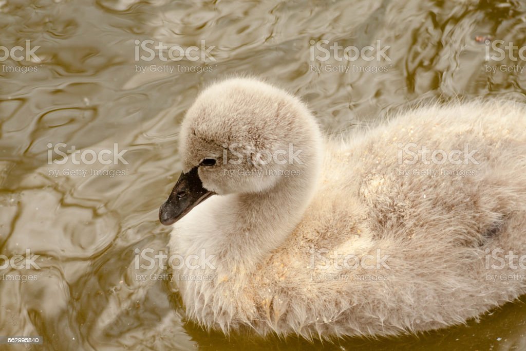 black swan chick swimming in the water pond view from above stock photo