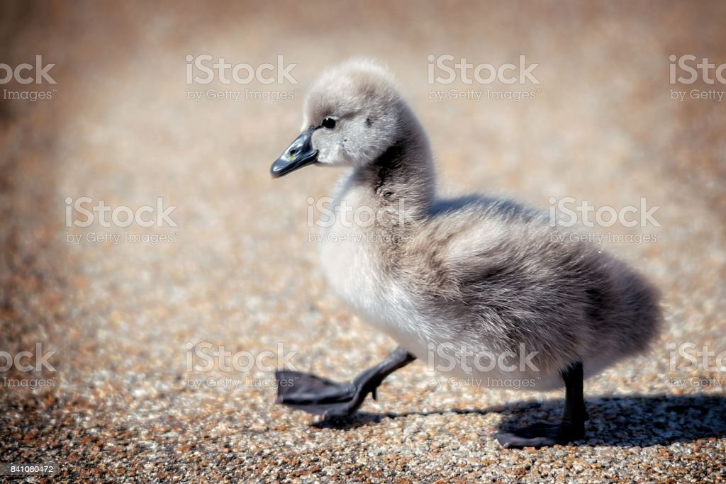 Black Swan Cygnet stock photo