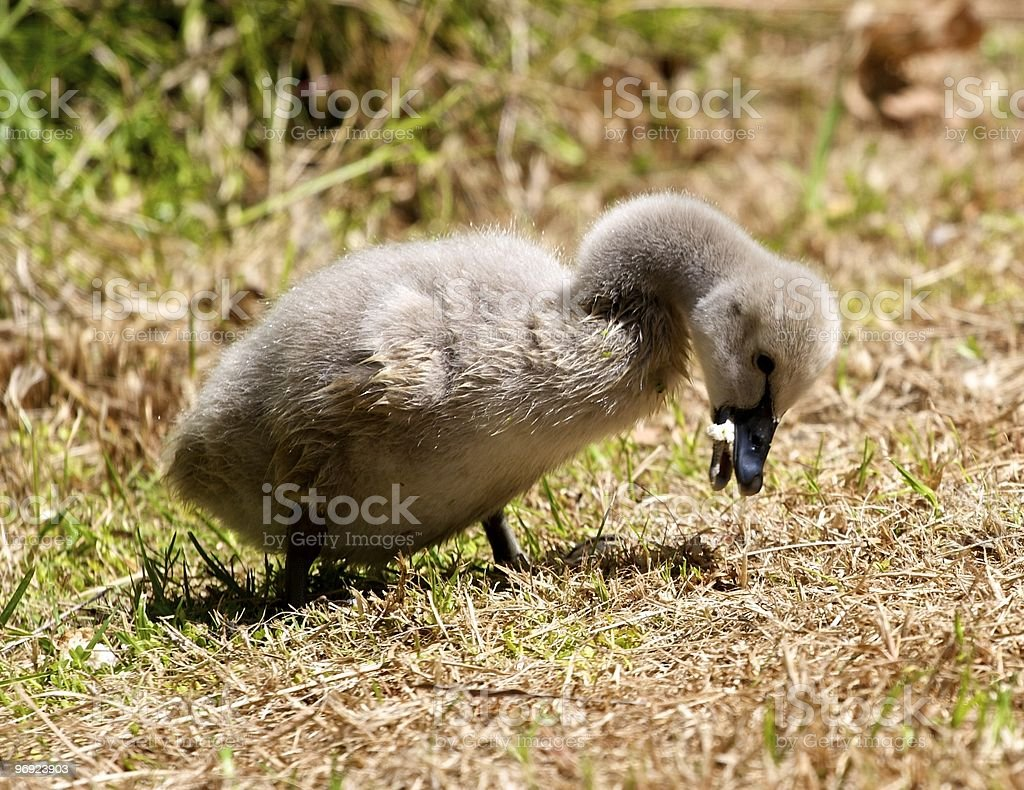 Black Swan Cygnet royalty-free stock photo