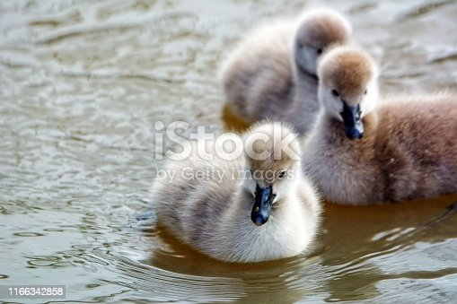 Baby black swans swimming in the lake