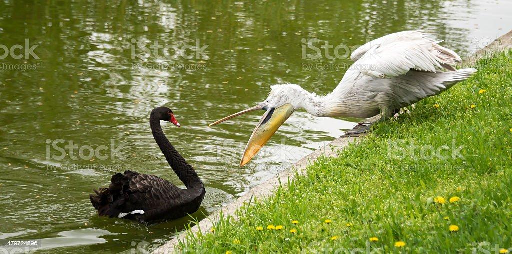 Black Swan, defending his friend, attacks Pelican stock photo