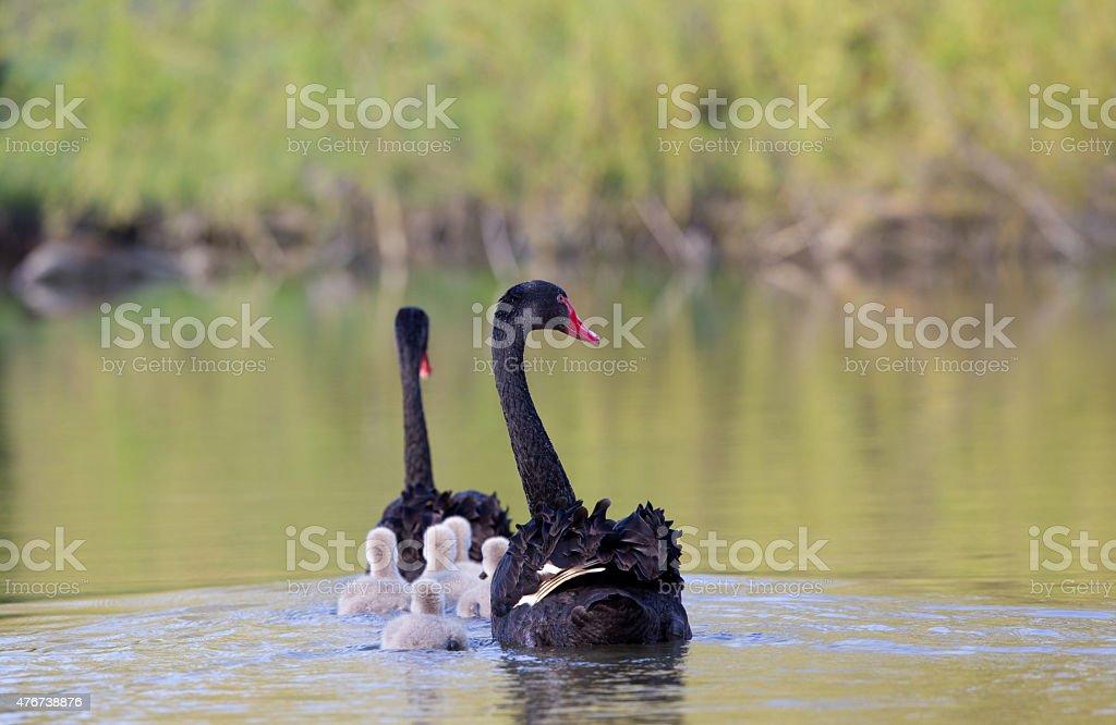 Black swan family stock photo