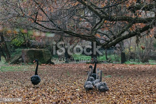 istock Black swan family walking - parent birds and little grey baby birds walking proudly together on autumn leaves, view from behind. 1300171780