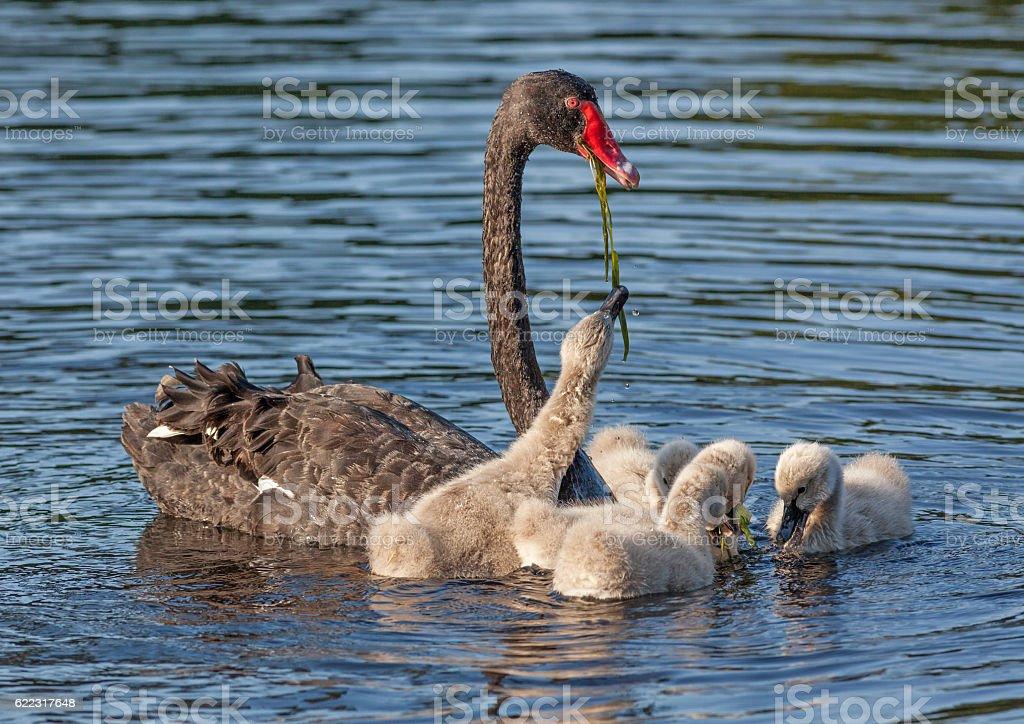 Black Swan Feeding Cygnets stock photo