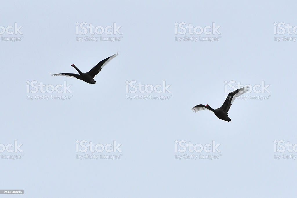 Black swan pair in flight stock photo